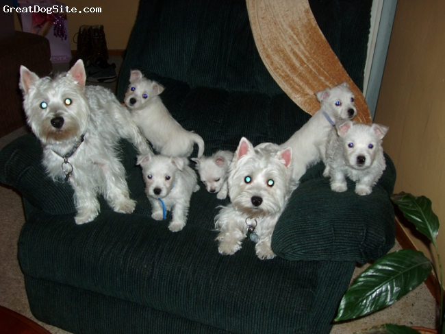 West Highland White Terrier, 3, white, Adorable couple who had five pups on June 10,2008. They are parents of 3 males & two females,all of which are in loving homes now.