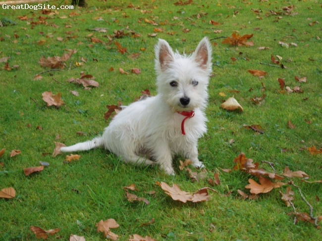 West Highland White Terrier, 2, White, Small and full of spirit