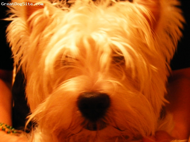 West Highland White Terrier, 2, fehér, Beautiful,Peacful dog. I Love You!