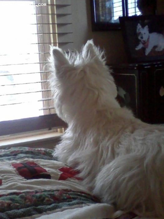 West Highland White Terrier, 8 months, White, When Bordy is not outside he wants to be.