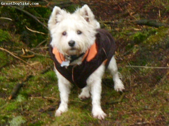 West Highland White Terrier, 5 years, white, skiboo is an extremely lively, effectionate young dog who responds well to any-one who is willing to lavish him with attention.