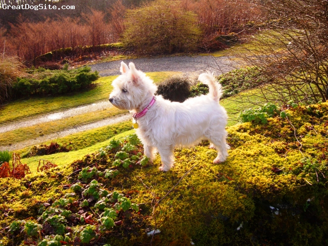 West Highland White Terrier, 7, white, Bonnie looking over kilmelford loch oban