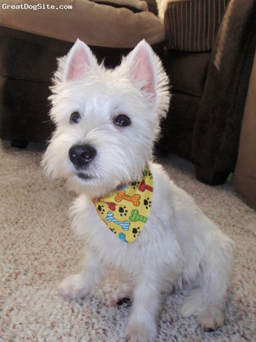 West Highland White Terrier, 8 months, White, Doug after his first haircut!