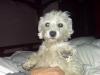 Westie-Laso, 2-3, White
