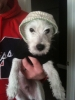 Westiepoo, 4 months, White