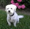 Westiepoo, 7 years, white