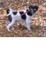 Wetterhoun, 4 mies, biało-czarny