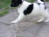 Wetterhoun, 2 mies, biało-czarny