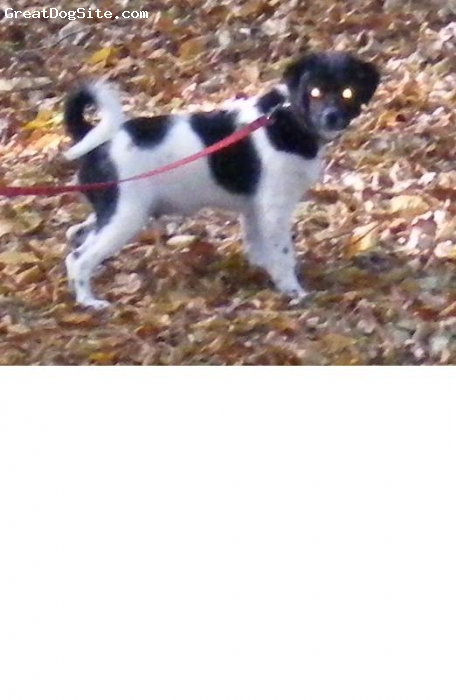 Wetterhoun, 4 mies, biało-czarny, mały spacer