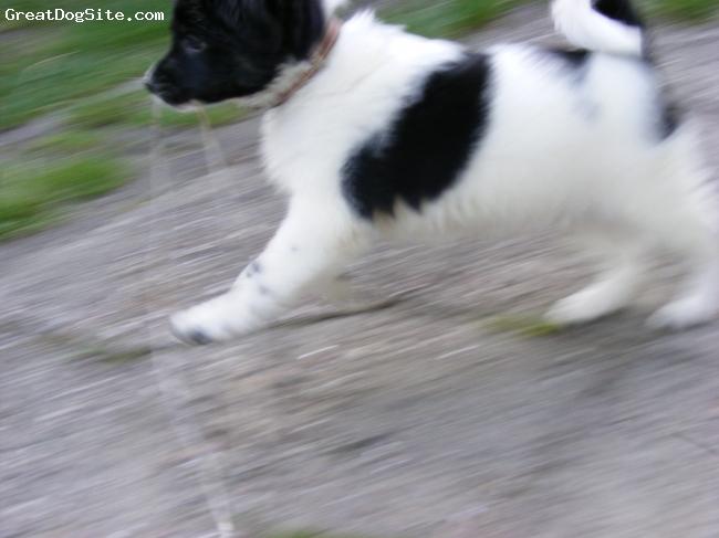 Wetterhoun, 2 mies, biało-czarny, //