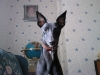 Whippet, 2yrs 6months, black