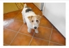 Wirehaired Fox Terrier, 6 years of age, She is tri colored