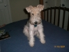 Wirehaired Fox Terrier, 7 months, white/brown/black