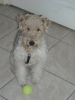 Wirehaired Fox Terrier, 2, White/Brown/Grey