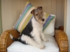 Wirehaired Fox Terrier, 5 months, hound marked