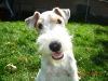 Wirehaired Fox Terrier, 17 Month, White, Black , and Brown