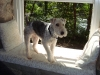 Wirehaired Fox Terrier, 3, white with spots