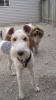 Wirehaired Fox Terrier, 9 months, Multi, white, brown, black