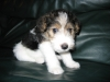 Wirehaired Fox Terrier, 5 months, W B T