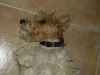 Wirehaired Fox Terrier, 2 years, tri colour