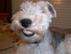 Wirehaired Fox Terrier, 5, White, tan and black spots