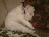 Wirehaired Fox Terrier, 2 yrs, white w/brown and black