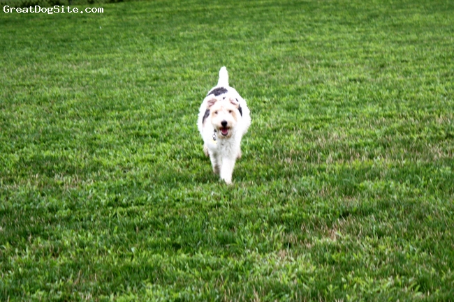 Wirehaired Fox Terrier, 3, White, The best dog ever!