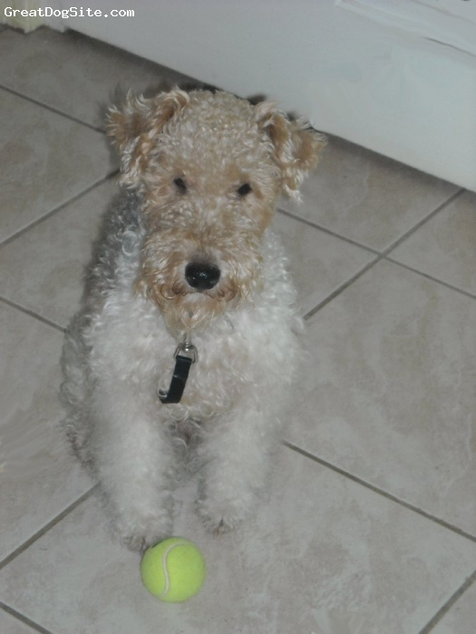 Wirehaired Fox Terrier, 2, White/Brown/Grey, Loves to Play tug-o-war and long walks to meet up with other furry friends.