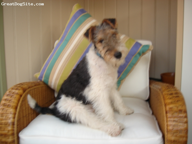 Wirehaired Fox Terrier, 5 months, hound marked, 5 month old crazy WFT,
