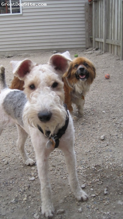 Wirehaired Fox Terrier, 9 months, Multi, white, brown, black, Our best buddy!