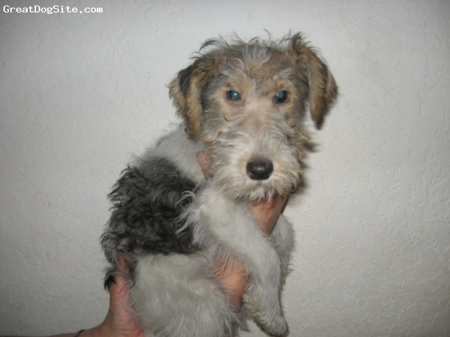 Wirehaired Fox Terrier, 5 months, W B T,
