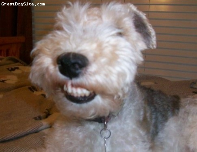 Wirehaired Fox Terrier, 5, White, tan and black spots, One happy dog....