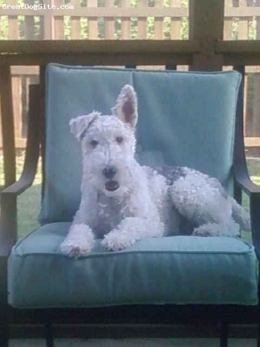 Wirehaired Fox Terrier, 6, Tri color, loves the back porch.