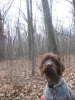 Wirehaired Pointing Griffon, 1, Brown/grey