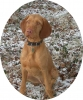 Wirehaired Vizsla, 3.5 years, Russet Gold