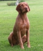 Wirehaired Vizsla, 2 yrs, russet gold