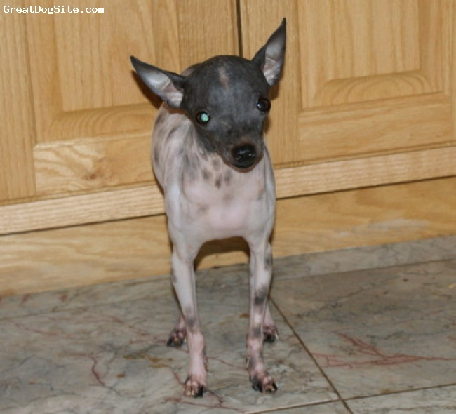Xoloitzcuintli, 4 years old, Spotted Gray, This skin pigment requires a lot of protection. Baby sunscreen for summer.