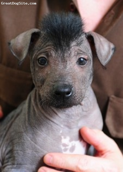 Xoloitzcuintli, 1, grey, this puppy is cute and hairless