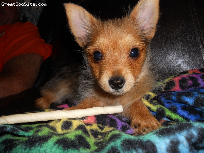 Yoranian, 3 months, Red, Mom is a Yorkie/Pom and Dad is a Yorkie