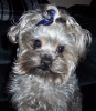 Yorkie Poo, Not Specified, gray