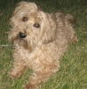 Yorkie Poo, Not Specified, brown