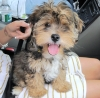 Yorkie Poo, 5 months, Carmel with White