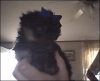 Yorkie Poo, 6 week, Blue/Black and Tan