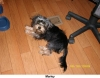 Yorkie Poo, 6 month old, Blue/Black and Tan