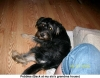 Yorkie Poo, 9 month old, Blue/Black and Tan