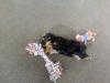 Yorkie Poo, 5 months, black and tan