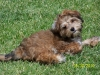 Yorkie Poo, 4 months, brown, gold, black, white