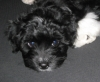 Yorkie Poo, 9 weeks, Black & White