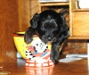 Yorkie Poo, 2, Black with a gray mix