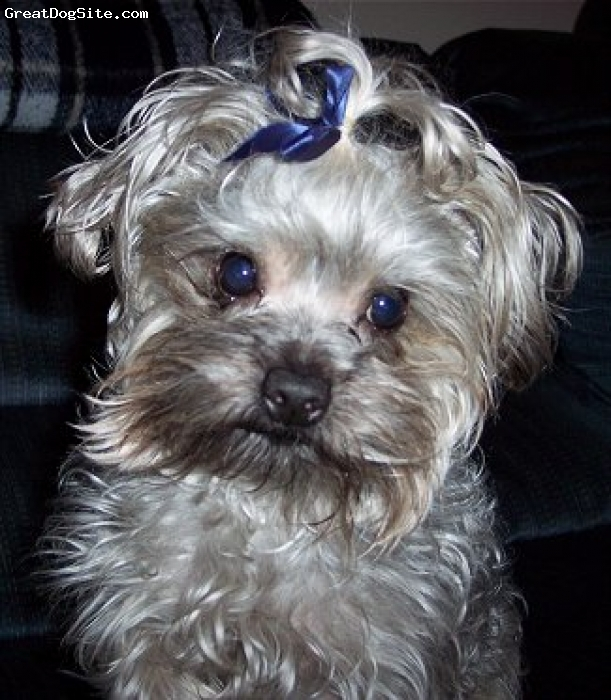 ... of a Not Specified old, gray, Yorkie Poo - cute | GreatDogSite.com